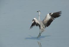Grey Heron landing Stock Photos