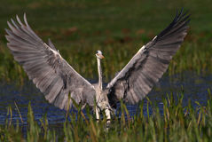 Grey Heron landing and show big wings Stock Photo