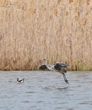 Grey Heron landing on water Royalty Free Stock Photography