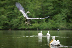 Grey heron lands in a lake Royalty Free Stock Image