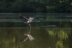 Grey heron lands in a lake Royalty Free Stock Photography