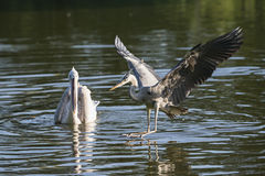 Grey heron lands in a lake Stock Image