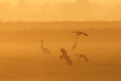 Grey heron and lapwing on the meadow Stock Photography