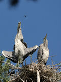Grey Heron large chicks in the nest and flying dragonfly Stock Photography