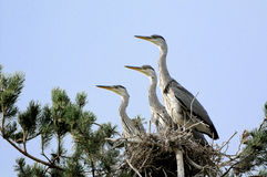 Grey Heron large chicks in the nest Royalty Free Stock Photos