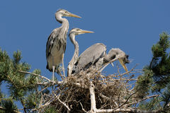 Grey Heron large chicks in the nest Stock Photo