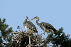 Grey Heron large chicks in the nest Stock Photography