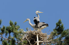 Grey Heron large chicks in the nest Royalty Free Stock Images