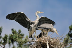 Grey Heron large chicks in the nest Royalty Free Stock Image