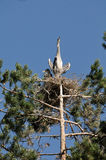 Grey Heron large chicks in the nest Royalty Free Stock Photo