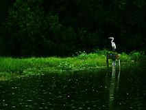 Grey heron in nature reserve Royalty Free Stock Images