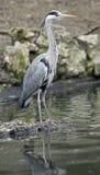 Grey heron 3 Stock Image