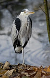 Grey heron 5 Royalty Free Stock Image