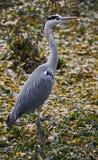 Grey heron 6 Stock Image