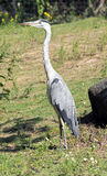 Grey heron 8 Royalty Free Stock Photography