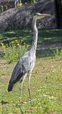 Grey heron 9 Stock Image
