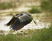 Grey Heron left off in flight Stock Photo