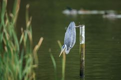A Grey heron perched on a post taking a dive stock images