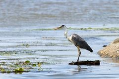 Grey heron looking for prey Stock Photography