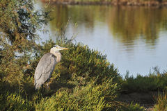 Grey heron on a low tamarisk branch Stock Photo