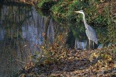 A grey heron  Stock Image
