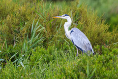 Grey heron in marshes Royalty Free Stock Photography