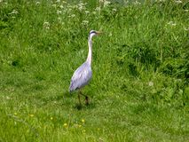Grey heron in a meadow Royalty Free Stock Photography