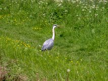 Grey heron in a meadow Stock Photography