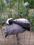 Grey Heron med ett vitt vapen som putsar dess fjädrar royaltyfria foton