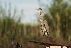 A Grey Heron on a metal bar. Stock Photography