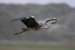 Grey Heron. Nallıhan Kuş Cenneti Ankara in Turkey Stock Photo