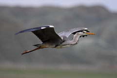 Grey Heron Stock Photo