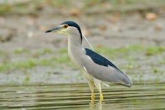 Grey heron in natural habitat (ardea cinerea) Royalty Free Stock Images