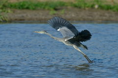 Grey heron in natural habitat (ardea cinerea) Royalty Free Stock Images