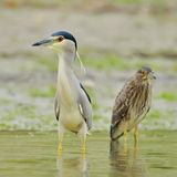 Grey heron in natural habitat (ardea cinerea) Stock Images