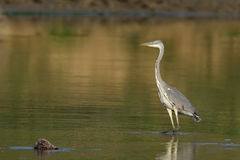 Grey heron in natural habitat (ardea cinerea) Stock Image