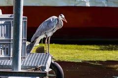 Grey heron in nature Royalty Free Stock Image