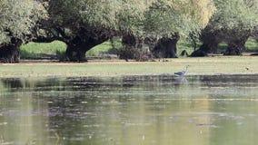 Grey heron nature wildlife stock video footage