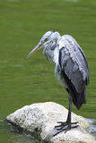 Grey heron near the pond Royalty Free Stock Images