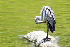 Grey heron near the pond Royalty Free Stock Image