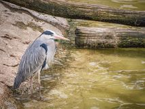 Grey Heron near water. Ardea cinerea is a long-legged predatory wading bird of the heron family, Ardeidae, native throughout temperate Europe and Asia and also Stock Photos