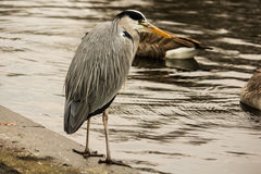 Grey heron near the water. Grey heron in  Regent Park, London, United Kindgdom Royalty Free Stock Photo