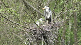 Grey Heron Nest stock video