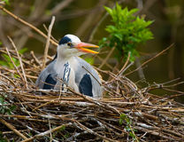 Grey heron nesting Royalty Free Stock Photos