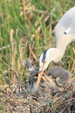 Grey Heron nesting Royalty Free Stock Images