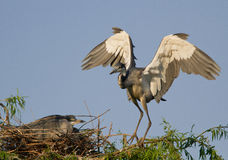 Grey Heron nesting couple. A nesting couple of grey heron with female on the nest and male flying in Royalty Free Stock Image