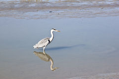 Grey heron in Noordpolderzijl harbour, Holland Royalty Free Stock Photography