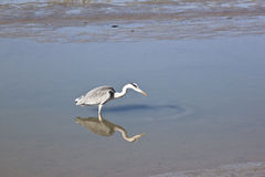 Grey heron in Noordpolderzijl harbour, Netherlands Stock Photo