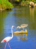 Grey Heron och rosa flamingo i deltan av Rhonen Arkivbild
