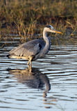 Grey Heron - Okavango Delta - Botswana Royalty Free Stock Photos
